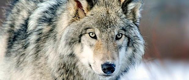 Risultati immagini per legge abbattimento lupi petizione