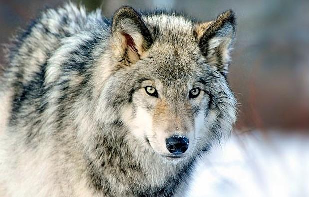 Wwf italia no all 39 abbattimento legale del lupo for Sito della camera dei deputati